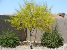 How to grow a palo verde tree?