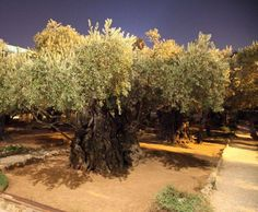 El Huerto de los Olivos en Jerusalén.