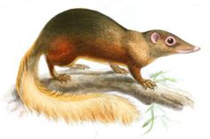 The 21 Basic Mammal Groups: Treeshrews