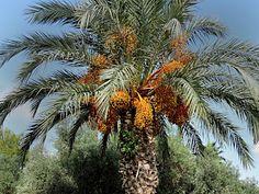 Tidiga morgnar och sena nätter i TORREVIEJA: Dadlarna snart klara och oliverna borde plockas......