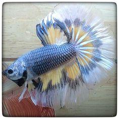 AquaBid.com -  **The Fish Tiger 0041**