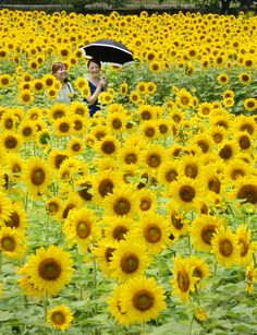 Sunflowers in Sayo, Hyogo prefecture, Japan, 10 July 2013 (© Mainichi)