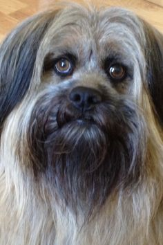 Rusty, our Tibetan Terrier