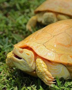 Albino Red Ear Sliders Photo by Dan Junkins Cute Creatures, Beautiful Creatures, Animals Beautiful, Animals Amazing, Rare Animals, Unique Animals, Land Turtles, Sea Turtles, Red Eared Slider