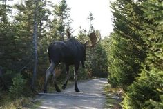 Photos of this moose were taken near Elliot Lake, Ontario Canada. I've been to Elliot Lake. I had a lot of fun catching toads in the yard . Moose Hunting, Bull Moose, Pheasant Hunting, Turkey Hunting, Archery Hunting, Moose Art, New Brunswick Map, Elk, Drawing Techniques