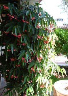 Houseplants That Filter the Air We Breathe Begonia Tamaya: Begonia Care: Leafy Plants, Foliage Plants, Exotic Plants, Shade Plants, Air Plants, Garden Plants, Indoor Plants, Sun Garden, Begonia
