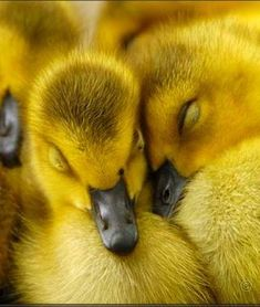 Ducklings snuggling