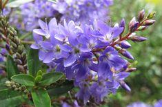 <i>Hebe</i> <Font Face='times New Roman'>Garden Beauty Blue</FONT> = 'Cliv' <sup>(PBR)</sup> (Garden Beauty Series)