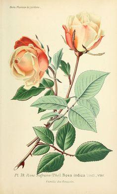img/dessins plantes et fleurs jardins et appartements/dessin de fleur de jardin 0159 rose safrano - rosa indica var.jpg