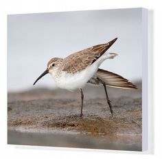 "Canvas Print-Curlew Sandpiper (Calidris ferruginea), Western Australia, Australia-20""x16"" Box Canvas Print made in the USA"