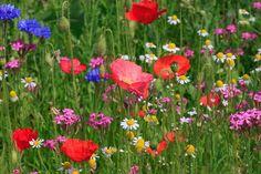 Wild Flower Meadow, Wild Flowers, Uk Bees, Rock Garden Plants, Flowers Garden, Columbine Flower, Butterfly Weed, California Poppy, Wildflower Seeds