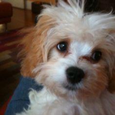 Millie the cavapoo. :)