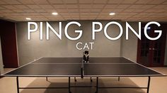 "PING PONG CAT. Let me introduce our ping pong cat ""Oreo""!  She is 15 years old but still plays like a kitten. Thank you so much for watching..."