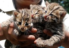 Three adorable leopard cubs  (Photo credit: AFP - Getty Images)