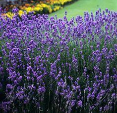 Lavandin (Lavandula x intermedia, croisement entre L. angustifolia et L. latifolia)  Buisson érigé et arrondi. Feuillage gris-vert. Fleurs violettes. 'Seal' a de belles fleurs mauves, tandis que celles de 'Hicote Giant' sont bleu violet.  Hauteur en fleur entre 0,80 et 1,20 m. Floraison en juin-juillet. Espèce la plus cultivée aujourd'hui car sa fleur est plus productive en huile essentielle que la lavande vraie.