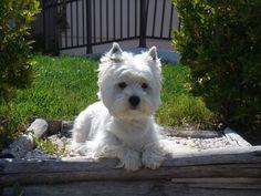 Westies are the best West Terrier, West Highland Terrier, Westies, Westie Dog, Animals And Pets, Baby Animals, Cute Animals, Beautiful Dogs, Animals Beautiful