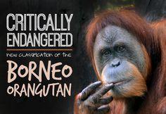 Gap Year Blog - Bornean Orangutan Officially Critically Endangered | www.frontiergap.co. | blog.frontiergap.com | #conservation #orangutan #endagered #environment #sustainability