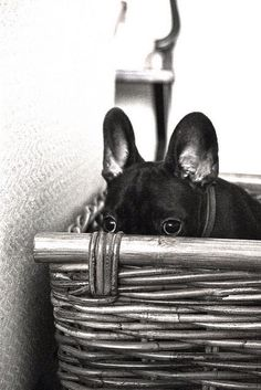 Kiekeboe! French bulldog