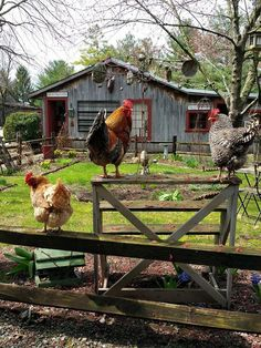Roosters on a fence