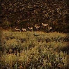 Wild @ Yellowstone