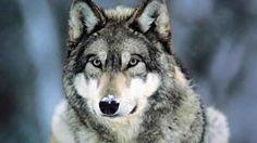 Czechoslovak Wolfdog Puppies | Dog Breeds Gallery