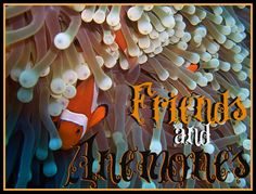 Anemones are some of the oceans' most beautiful creatures, and yet there are few other species that can live in harmony with these captivating carnivores. http://aquaviews.net/explore-the-blue/friends-anemones/