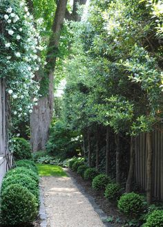 Beautiful side yard with a boxwood lined gravel path, climbing white roses, and small narrow trees along the fence (wish I knew what type they are, says they are Foster's Holly, but it doesn't look like a holly leaf)
