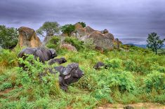Buffalo Bulls photographed on a self-drive safari on the near Pretoriuskop in the Kruger National Park Buffalo S, Buffalo Bulls, Kruger National Park, National Parks, Mountain Images, Elephant Walk, Dangerous Animals, Park Landscape, Tree Images