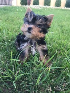 My beautiful perfect yorkshire baby boy named Milan! Boy Names, Yorkie, Milan, Baby Boy, Boys, Animals, Beautiful, Baby Boys, Yorkies