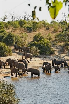 Chobe National Park, Botswana (home to Africa's largest population of elephants) African Elephant, African Animals, African Safari, Elephants Never Forget, Save The Elephants, Baby Elephants, Nature Animals, Animals And Pets, Cute Animals