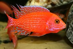 Image detail for -AFRICAN CICHLIDS Looks like this is a male jewel fish.