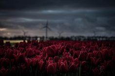 Photo by Bart Christiaanse on Unsplash Red Tulips, Tulips Flowers, Hd Photos, View Photos, Tulip Flower Photos, Composition Techniques, Photographer Needed, Tulip Fields, Background Images Wallpapers