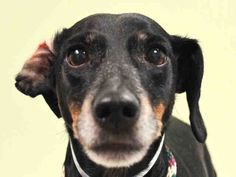 SUPER URGENT MAX – A1034263 NEUTERED MALE, BLACK / BROWN, DACHSHUND MIX, 9 yrs OWNER SUR – EVALUATE, NO HOLD Reason NO TIME Intake condition EXAM REQ Intake Date 04/25/2015