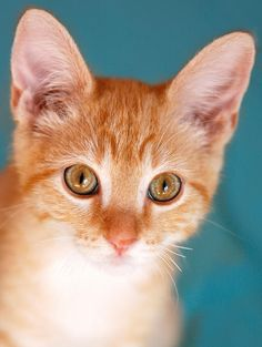 Orange Tabby Kitten i want:)