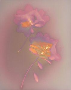 Lumen Print 7 Azalia With White Blossoms by John Fobes