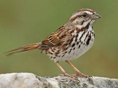 EASTERN SONG SPARROW, Adult: there is significant regional diversity in appearance. Song Sparrow Identification, All About Birds, Cornell Lab of Ornithology Song Sparrow, Sparrow Bird, Bird Calls, House Sparrow, Watercolor Projects, Backyard Birds, Little Birds, Wild Birds, Bird Watching