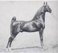American Saddlebred stallion Ensign Kirby was sired by Cameo Kirby.