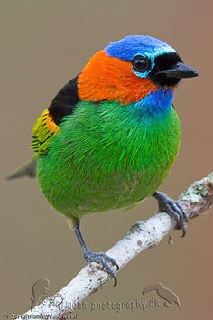 Red-necked Tanager (Tangara cyanocephala) adult male