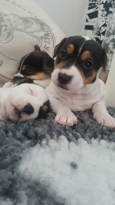#puppies #4ukergammel   #dsg