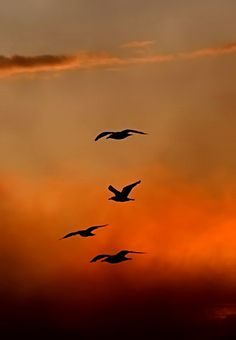 """beauty-rendezvous: """" Seagulls in Sunset by nordfold """""""