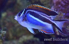 BlueSpace and Crazy Aquarium in Bangkok is a mecca for Anthias and well groomed reef fish | Reef Builders