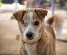 ADOPTION UPDATE: Soi Dog Tua Kiaw has been adopted into his new forever home by a couple in Germany who met him when they visited the shelter in Phuket. Good Luck & Love in Your FOREVER HOME! We will miss you xxx