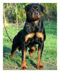 Magnificent  Rottweiler!!!!