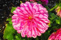 This happy pink Dahlia seems to just smile up from the garden.