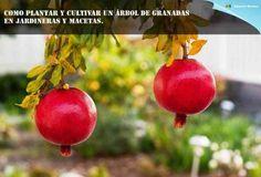 Como plantar y cultivar un árbol de granadas en jardineras y macetas.