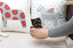 I am a cute Yorkshire Terrier - Yorkie puppy, looking for a home on NextDayPets.com!