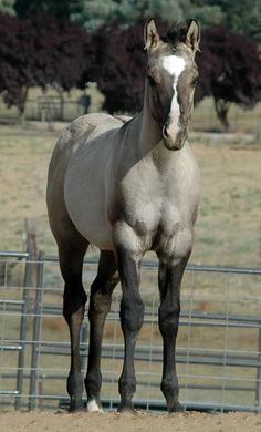 Gorgeous color & conformation on this Shining C Grulla AQHA Yearling - Grulla (pronounced grew-yah) is a rare color that is mouse, blue, dove or slate with dark sepia to black points. There are no white hairs mixed in the body coat. #Horse #Equine #Foal