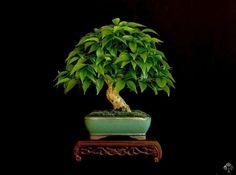 Bonsai gallery - Bonsai Empire