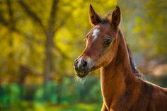 Daily Dose - January 25, 2015 - Lovely Arabian Foal  2016©Barbara O'Brien Photography