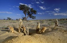 Kalagadi transfonteir park, Northern Cape, South Africa